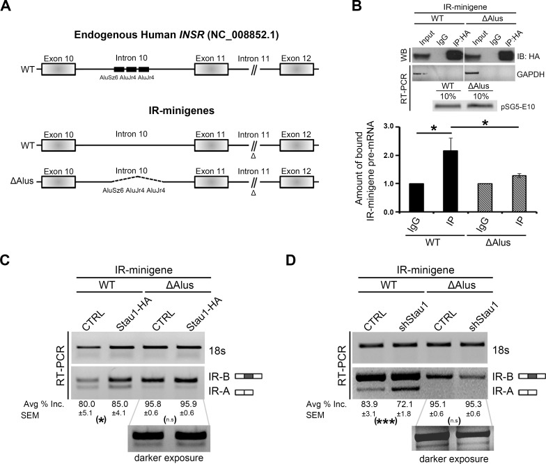 Stau1 regulates splicing of INSR exon 11 through an interaction with Alu elements in intron 10. (A) The genomic DNA sequence of the human INSR (NG_008852.1) was used to assess the Alu elements located in intron 10. Introns are not to scale, and this is indicated in intron 11 (//). The IR-minigene constructs used in this study are shown here. Previously deleted segments of genomic DNA determined not to influence exon 11 splicing are indicated in intron 11 (Δ symbol), and black dotted lines represent the deleted segment containing the three Alu elements. (B) HeLa cells were transiently transfected with Stau1-HA plasmid and either the WT or ΔAlus IR-minigene. Immunoprecipitation (IP) of Stau1-HA protein was carried out using HA-specific antibodies under RNase-free conditions. Western blot using HA-antibodies show equal amounts of Stau1-HA protein was immunoprecipitated in each condition. RNA was collected and DNase-treated prior to cDNA synthesis. RT-PCR was performed using GAPDH specific primers to demonstrate a lack of non-specific binding of RNA to the beads used for immunoprecipitation. Equal amounts of transfected minigenes were confirmed by performing RT-PCR on the cDNA synthesized from the 10% inputs lysates with primers specific to amplify a portion of the plasmid vector (pSG5) and the IR-minigene (Exon 10), corresponds to the pSG5-E10 labelled band. RT-qPCR was carried out using primers specific to an 115 bp region of intron 10 of the IR-minigene to determine the amount of IR-minigene RNA bound to immunoprecipitated Stau1-HA. Bar graphs show an average of four independent RIP experiments. (C-D) HeLa cells were transiently transfected with a CTRL, Stau1-HA plasmid or shStau1 and either the WT or ΔAlus IR-minigene. IR-minigene splicing was determined by RT-PCR. The average of ≥3 independent experiments was used. Error bars represent SEM * = p