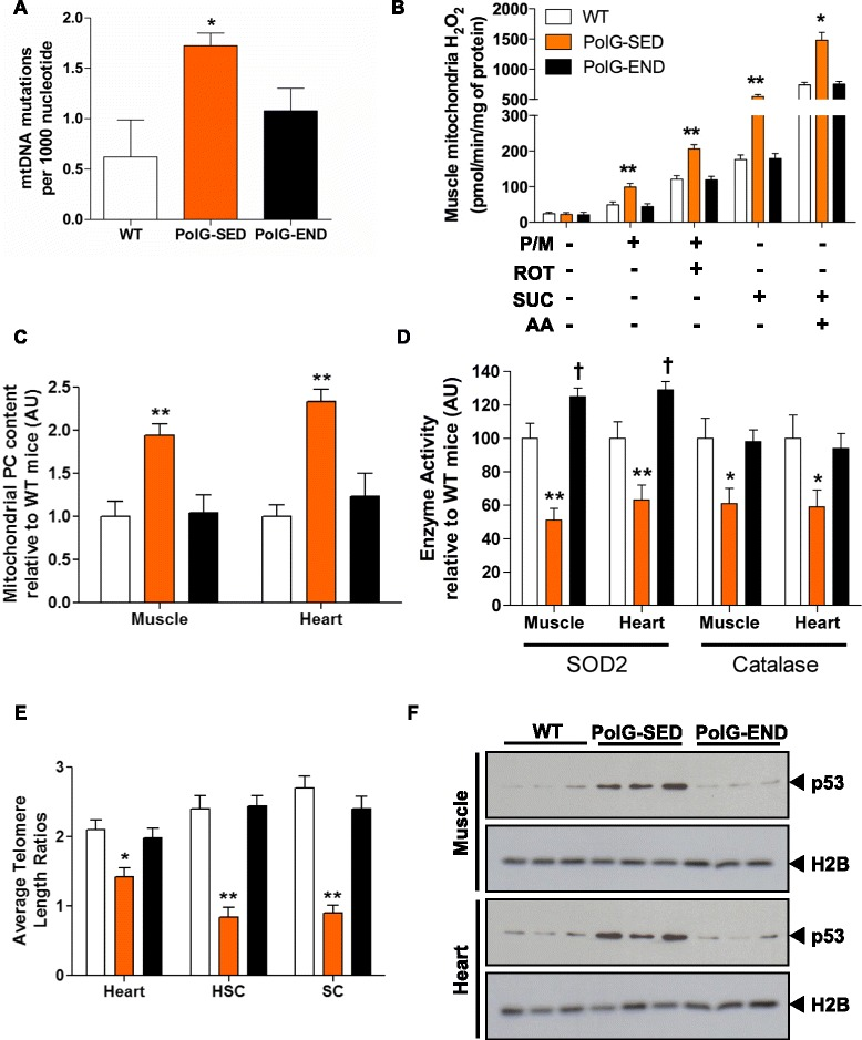 Endurance exercise reduces random mtDNA somatic mutations, attenuates mitochondrial ROS-mediated oxidative damage, mitigates telomere shortening, and reduces nuclear accumulation of p53 in mtDNA mutator mice. a Random mtDNA somatic mutation rate (per 1000 nucleotides of mtDNA) in muscle ( quadriceps femoris ) WT, PolG-SED, and PolG-END mice ( n = 4–5/group). b H 2 O 2 production rate in muscle mitochondrial fractions of WT, PolG-SED, and PolG-END ( n = 5–7/group). Complex I and II substrates: P/M, pyruvate/malate and SUC, succinate (5 mM each), respectively. Complex I and III inhibitors: ROT, rotenone, and AA, antimycin A (0.5 μM each), respectively. c Protein carbonyls ( PC ) content in muscle ( tibialis anterior ) and heart mitochondrial fractions of WT, PolG-SED, and PolG-END ( n = 5–7/group). d SOD2 and catalase enzyme activity in the muscle ( quadriceps femoris ) and heart of WT, PolG-SED, and PolG-END ( n = 7/group). e Average telomere length ratios in the heart, hematopoietic stem and progenitor cells ( HSC ), and satellite cells ( SC ) of WT, PolG-SED, and PolG-END ( n = 6–8/group). f Representative blots of nuclear p53 content (~53 kDa) in the muscle ( quadriceps femoris ) and heart of WT, PolG-SED, and PolG-END ( n = 5–8/group). Histone H2B (~14 kDa) was used as a nuclear loading control. (PolG-SED vs. both WT and PolG-END) = * P