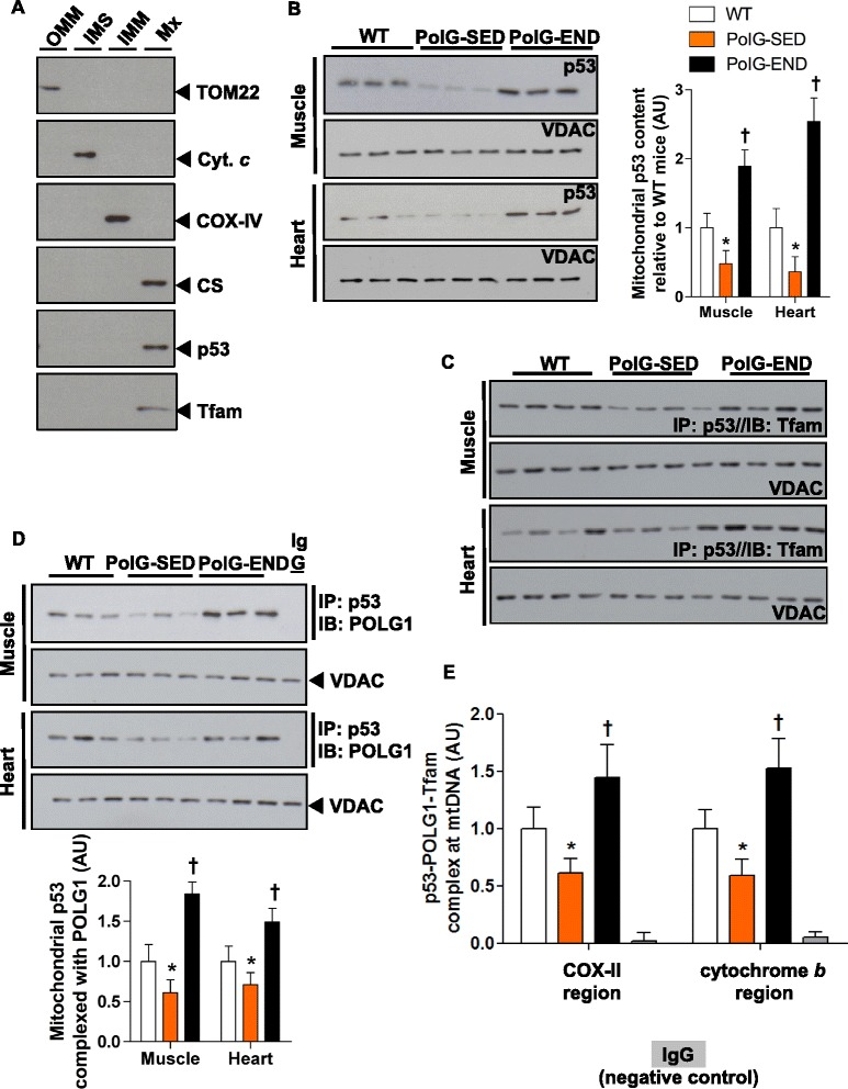 Endurance exercise increases the abundance of p53 in mitochondrial matrix where it interacts with mtDNA in a complex with POLG1 and Tfam in mtDNA mutator mice. a Mitochondrial p53 is primarily localized in the matrix. Muscle mitochondria were subfractionated into outer mitochondrial membrane (OMM), intermembrane space (IMS), inner mitochondrial membrane (IMM), and matrix (Mx) fractions, and these fractions were immunoblotted for the compartment-specific proteins TOMM22 (~16 kDa), cytochrome c (~14 kDa), COX-IV (~17 kDa), and CS (~45 kDa), respectively, and also for p53 (~53 kDa) and Tfam (~24 kDa). Representative blots of b mitochondrial p53 content (~53 kDa) in the muscle and heart of WT, PolG-SED, PolG-END ( n = 6–8/group), c p53 co-immunoprecipitation ( IP ) followed by immunoblotting ( IB ) for mitochondrial transcription factor A (Tfam; ~24 kDa) to assess mitochondrial p53-Tfam complex content in muscle and heart mitochondria from WT, PolG-SED, PolG-END ( n = 4–5/group), and d p53 co- IP followed by IB for POLG1 (~140 kDa) to assess mitochondrial p53-POLG1 complex content in muscle and heart mitochondria from WT, PolG-SED, and PolG-END ( n = 6–8/group). VDAC (~32 kDa) was used as a mitochondrial loading control. e p53-POLG1-Tfam complex is bound to mtDNA (quantified using two independent mtDNA regions: COX-II and cytochrome b ) in muscle mitochondrial fractions of WT, PolG-SED, and PolG-END mice ( n = 4–6/group). A non-specific IgG antibody was used as negative control antibody. Asterisk (PolG-SED vs. both WT and PolG-END): * P