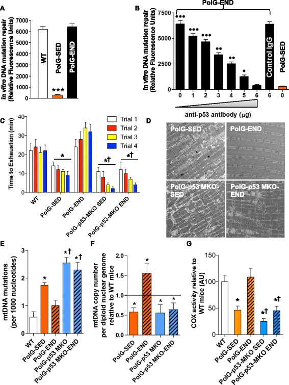 Endurance exercise-mediated repair of mtDNA mutations is mitochondrial p53-dependent. a A fluorescence-based in vitro DNA primer extension-mutation repair assay in muscle mitochondrial extracts from WT, PolG-SED, and PolG-END ( n = 6–8/group) to assess the excision of the unpaired artificial point mutations. b p53 immunodepletion prevents mutation repair in muscle mitochondrial extracts from PolG-END ( n = 5/group). A non-specific IgG antibody was used as negative control antibody. c Endurance stress test time to exhaustion in four independent trials in WT, PolG-SED, PolG-END, PolG-p53 MKO-SED, and PolG-p53 MKO-END mice ( n = 5–6/group). d Representative electron micrographs of myofibers ( quadriceps femoris ) from WT, PolG-SED, PolG-END, PolG-p53 MKO-SED, and PolG-p53 MKO-END ( n = 4/group). e Random mtDNA somatic mutation rate (per 1000 nucleotides of mtDNA) in muscle ( quadriceps femoris ) WT, PolG-SED, PolG-END, PolG-p53 MKO-SED, and PolG-p53 MKO-END mice ( n = 3–4/group). f mtDNA copy number in muscle mitochondria from PolG-SED, PolG-END, PolG-p53 MKO-SED, and PolG-p53 MKO-END mice ( n = 4–5/group) relative to WT mice ( horizontal line ). g Cytochrome c oxidase (COX) activity in muscle from WT, PolG-SED, PolG-END, PolG-p53 MKO-SED, and PolG-p53 MKO-END mice ( n = 4–5/group). Asterisk (PolG-SED vs. both WT and PolG-END): * P