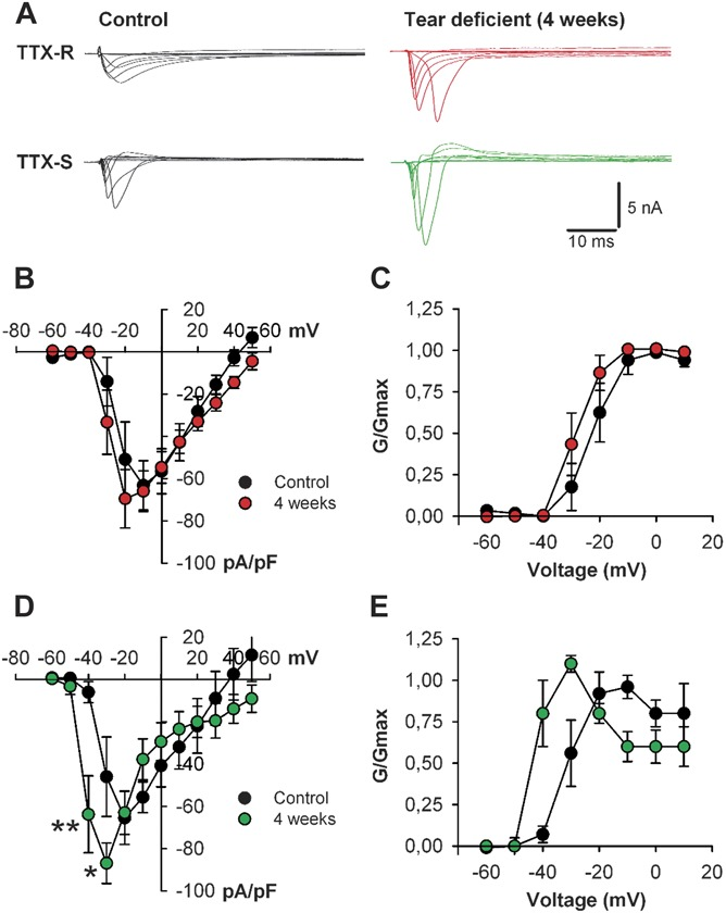 Voltage-gated Na +  currents in trigeminal corneal cold sensory neurons of control and tear-deficient guinea pigs at 4 weeks after lachrymal gland removal. Corneal neurons were retrogradely labeled with FM 1-43 applied on the cornea 6 days earlier. (A) For each neuron, membrane potential was held at −80 mV; whole-cell sodium currents were evoked after a 500-millisecond prepulse to either −120 or −40 mV with a 100-millisecond step to potentials between −60 and +50 mV in 10 mV increments; current evoked from −40 mV was considered to be TTX-r current, whereas the difference between the current evoked from −120 and −40 mV was considered to be TTX-s; for clarity, only traces from −60 to +20 mV are shown. (B and C) Mean voltage–current relationships and mean relative peak conductance normalized to the maximal conductance (G/G max ) and plotted against voltage of TTX-r sodium currents. (D and E) Mean voltage–current relationships and mean relative peak conductance normalized to the maximal conductance (G/G max ) and plotted against voltage of TTX-s sodium currents. Data are mean ± SEM; ** P