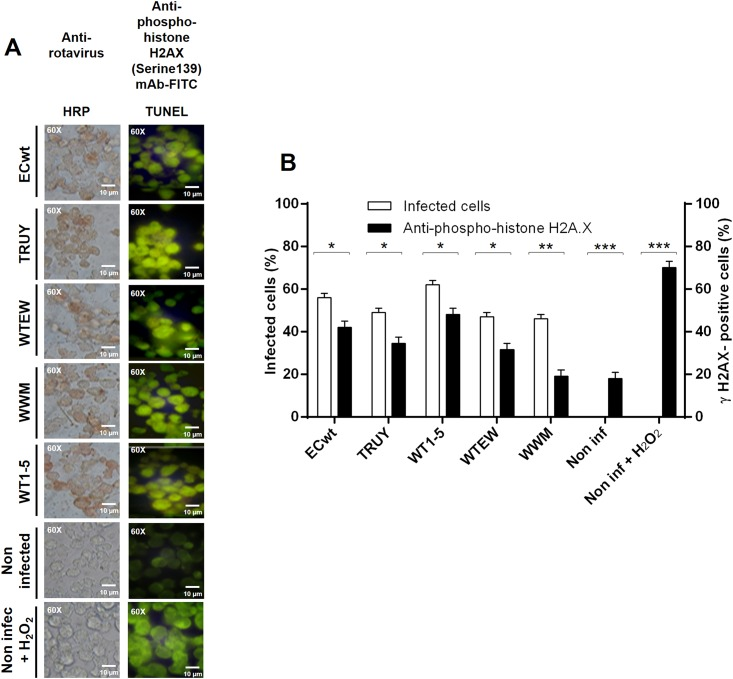 Induction of γH2AX accumulation by <t>rotavirus</t> infection. Sp2/O-Ag14 cells were infected with tumor cell-adapted rotavirus isolates WTEW, TRUY, WT1-5, WWM or ECwt at MOI of 0.8 and harvested at 12 h.p.i. (A) Immunocytochemistry analysis of infected cells using primary Abs against rotavirus SP and <t>HRP-conjugated</t> goat anti-rabbit secondary antibodies. For phospho-histone H2A.X analysis, cells were permeabilized with 0.5% Triton X-100 and blocked with 3% BSA in TBS buffer. Cells were treated first with anti-phospho-histone H2A.X (Ser 139) mAb (2 μg/ml) and then with FITC-conjugated goat anti-mouse secondary Ab (2 μg/ml). Uninfected cells treated or not with H 2 O 2 (1 mM) were used as a control. (B) Comparison of the mean percentages of cells being positive to rotaviral antigen and γH2AX foci.