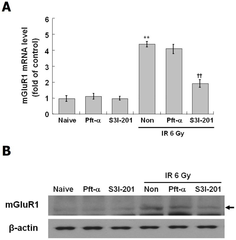 Suppression of IR-induced mGluR1 expression by STAT3 inhibitor in C17.2 cells. C17.2 cells were treated with STAT3 inhibitor, S3I-201 at 10 μM and p53 inhibitor, <t>Pft-α</t> at 20 μM for 2 hr, and then exposed to IR at 6 Gy and incubated at 37°C for 72 hr. Level of mGluR1 mRNA was analyzed by real-time PCR (A) and expression of mGluR1 was analyzed by Western blot (B). The results represent the mean ± SD from triplicate data. **p