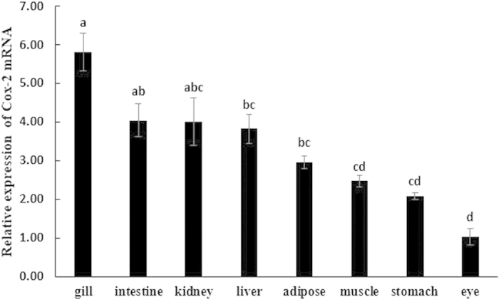 Tissue distribution of cox-2 in large yellow croaker. Relative cox-2 mRNA expression was determined by quantitative realtime PCR (qRT-PCR) and expressed relative to β-actin levels. Results are expressed as means ± S.E.M. (n = 3). Different letters above the bars denote significant differences among tissues at the P