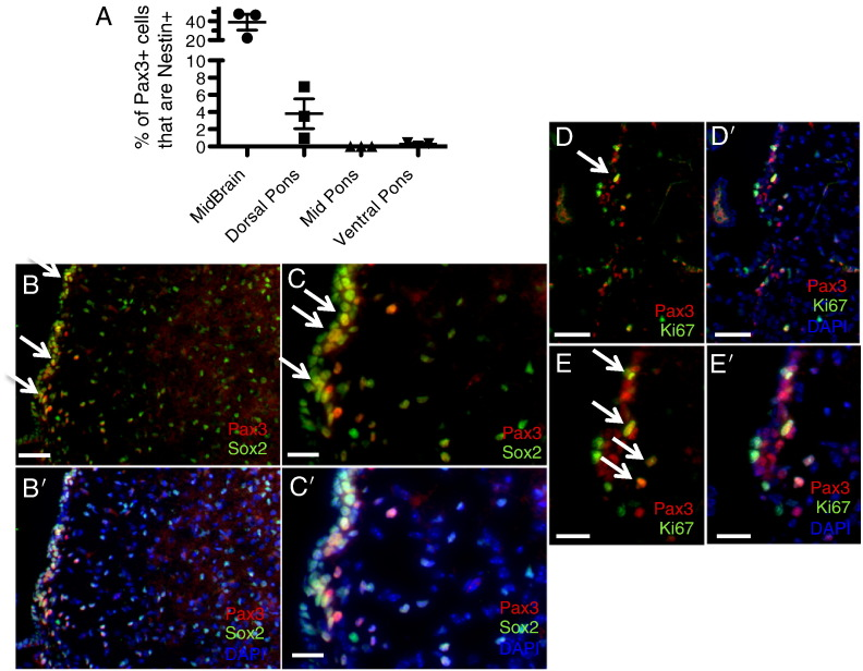 Pax3-expressing progenitor cells in the neonatal mouse brainstem. (A) Coimmunofluorescence for Pax3 and Nestin-CFP (using a GFP antibody) was conducted in P3 sections of Nestin-CFPnuc brainstem, and the percentage of Pax3 + cells in each of the indicated brainstem regions that were also Nestin + was calculated as described in the Materials and Methods and in [24] . (B–D) Coimmunofluorescence of wild-type P3 mouse brainstem for Pax3 and Sox2 (B and C) or Ki67 (D and E). DAPI counterstain is shown in (B'–E') to indicate total nuclei. 20 × magnification (B and D), scale bar is 50 μm; 40 × magnification (C and E), scale bar is 25 μm. White arrows point to examples of double-positive cells.
