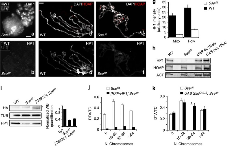 HP1 loading on chromatin might depend on Sse catalytic activity. ( a , b ) An Sse mutant metaphase stained for <t>DNA</t> (DAPI) ( a ) and HP1 ( b ); the insets show a wild-type metaphase. Scale bar, 5 μm.( c – e ) Polytene chromosomes from wild-type ( c , d ) and Sse dft mutant salivary glands ( e , f ) stained with DAPI and immunostained for HOAP (red) and HP1. It is worth noting that in Sse mutant chromosomes HOAP localizes normally at telomeres, while HP1 localization is strongly reduced. Scale bar, 10 μm. ( g ) Quantification of HP1 intensity from WT and Sse dft mitotic (Mito) and Polytene (Poly) chromosomes. The intensity values, which have been measured with the Image J software, are indicated as arbitrary units. Only polytene chromosomes exhibiting a strong reduction of Hp1 staining have been considered for this analysis. ( h ) Western blot from wild type, Sse , thr and pim RNA-interferred extracts showing that loss of Sse specifically reduces HP1 level; actin is used as a loading control. ( i ) Western blotting of brain extracts from wild type, Sse mutants and Sse mutant expressing a HA-tagged catalytically inactive (C497S) Sse protein. *A nonspecific band. Quantification from three different western blottings of the HP1 levels with respect to tubulin (loading control) shows that the expression of catalytically inactive Sse fails to restore normal HP1 levels. ( j ) HP1 overexpression drastically reduces the TFs frequency in Sse mutants. Error bar indicates s.e.m. ( k ) Frequency (±s.e.m) of TFs in Sse mutant neuroblasts that overexpress Sse C497S .