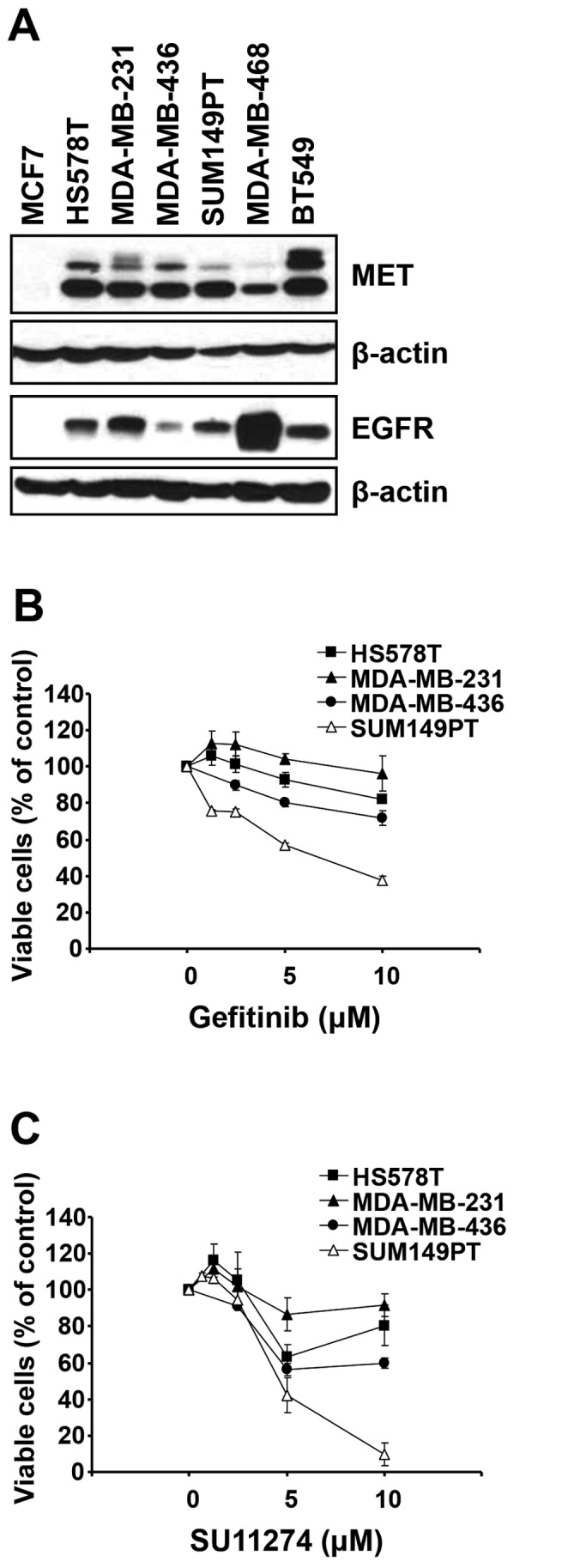 MSL subtype TNBC cells are resistant to either gefitinib or SU11274 in spite of high expression of EGFR and MET. (A) Cell lysates from exponentially growing cells were subjected to western blot analysis with indicated antibodies. β-actin was used as a loading control. (B and C) Cells were incubated with increasing concentrations of gefitinib (B) or SU11274 (C) for ≤72 h and the viable cells were determined by MTT cell viability assay. Data are presented as mean ± SEM from three independent experiments performed in triplicate.
