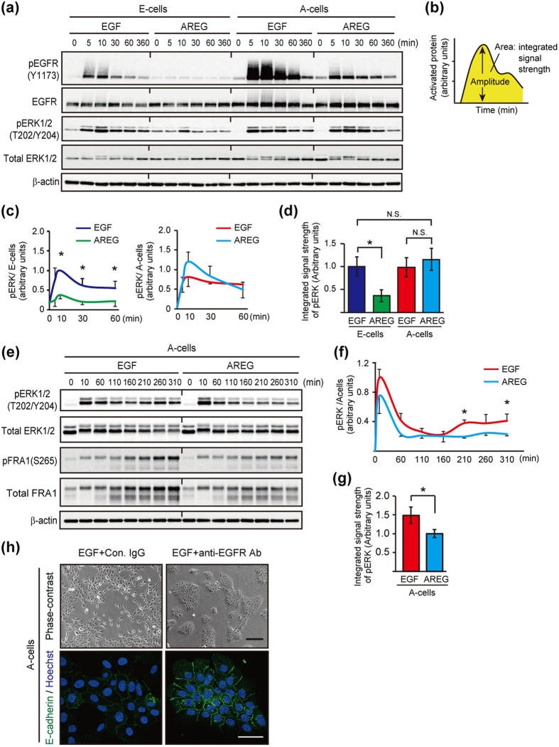 Ligand-switching between EGF and AREG altered signal strength of EGFR and ERK. ( a ) Western blot time course analysis of the phosphorylation of EGFR and ERK1/2 by 10 ng/mL EGF or 20 ng/mL AREG in E-cells and A-cells. ( b ) Schematic representation of the quantitative measurement of EGFR or ERK activation (Modified from Andreu-Perez et al. Fig. 1b ). ( c ) Quantification of pERK phosphorylation. Data were obtained from 3 independent experiments, one of which is shown in ( a ). The band intensities were normalized to that of pERK in E-cells treated with EGF for 10 min. ( d ) Quantification of the integrated signal strength of ERK, which was calculated from the area under the curve (0 to 60 min) shown in ( c ). The values were normalized to that of pERK in E-cells treated with EGF. ( e ) Western blot analysis of the phosphorylation of ERK1/2 and FRA1 by EGF or AREG in A-cells over a time course. ( f ) Quantification of pERK phosphorylation. Data were obtained from 3 independent experiments, one of which is shown in ( e ). ( g ) Quantification of the integrated signal strength of ERK, which was calculated from the area under the curve (0 to 310 min) shown in ( f ). The values were normalized to that of pERK in A-cells treated with AREG. ( h ) Phase-contrast and immunofluorescent images of A-cells treated with EGFR inhibitors. AREG-depleted A-cells were treated with EGF or AREG, allowing the immediate activation of EGFR signaling. After the 2 h incubation, a control antibody (10 μg/mL) or a neutralizing antibody against EGFR (10 μg/mL) was administered. Cells were further cultured for 2 days and stained with an anti-E-cadherin antibody (green). Nuclei were stained with Hoechst 33342 (blue). See also Supplementary Fig. 8d . Scale bar: upper panel, 100 μm; lower panel, 50 μm.