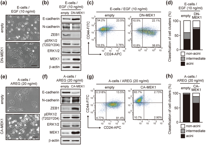 Manipulation of signal strength led to phenotypic conversion. ( a ) Phase-contrast images of E-cells infected with a lentivirus vector encoding dominant negative MEK1 (DN-MEK1). Enforced expression of DN-MEK1 increased cell-cell contact in EGF medium. Scale bar: 50 μm. ( b ) Western blot analysis of EMT-related factors, MEK1 and ERK1/2 in cells cultured as in ( a ). ( c ) Flow cytometric analysis of DN-MEK1-expressing cells cultured as in ( a ). ( d ) Quantification of acinus-formation efficiency. Cells shown in ( a ) were cultured for 2 weeks on a reconstituted basement membrane. ( e ) Phase-contrast images of A-cells infected with the lentivirus vector encoding constitutive active MEK1 (CA-MEK1). Enforced expression of CA-MEK1 decreased cell-cell contact in AREG medium. Scale bar: 50 μm. ( f ) Western blot analysis of EMT-related factors MEK1 and ERK1/2 in cells cultured as in ( e ). ( g ) Flow cytometric analysis of CA-MEK1-expressing cells cultured as in ( e ). ( h ) Quantification of acinus-formation efficiency of cells shown in ( e ). Cells were processed as in ( d ).