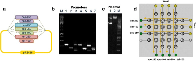 Construction in yeast of a promoter library. a Promoter library schematic. b Gel electrophoresis image of amplified promoters: lane 1, Gal-250; lane 2, Gal-100; lane 3, Leu-250; lane 4, spo-250; lane 5, spo-100; lane 6, tef-250; lane 7, tef-100. c Gel electrophoresis image of: lane 1, pRS426; lane 2, pRS426-yeGFP EagI digest. M is GeneRuler 1 kb Plus DNA Ladder (Thermo Scientific). d Schematic of reagent transfers through the microfluidic chip. The green input wells contain a mixture of different promoters and digested plasmid pRS426 with Salomon sperm DNA as a carrier. The yellow input wells contain S. cerevisiae competent cells. Arrows show pathways of reagent transfer on-chip according to the automated protocol