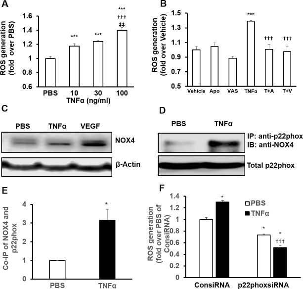 TNF-α induces ROS generation in human RPE cells by activating NADPH oxidase. A : Reactive oxygen species (ROS) generation measured with 2',7'-dichlorofluorescein diacetate (DCFDA) fluorescence in human RPE cells treated with recombinant human tumor necrosis factor alpha (TNF-α) at various concentrations for 30 min (***p