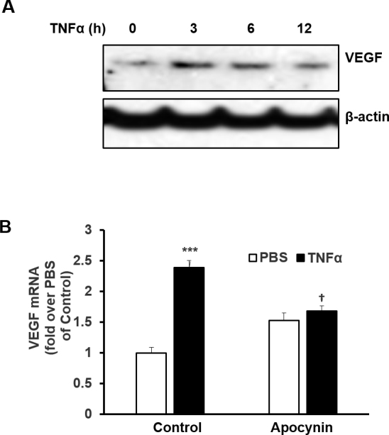 TNF-α upregulates VEGF expression in RPE cells via ROS-dependent signaling. A : Western blot of vascular endothelial growth factor (VEGF) in RPE cells treated with tumor necrosis factor alpha (TNF-α; 20 ng/ml) for 3, 6, or 12 h. B : Quantitative PCR of VEGF mRNA in RPE cells pretreated with apocynin (100 µM) or control for 30 min before incubation with TNF-α (20 ng/ml) for an additional 12 h (***p