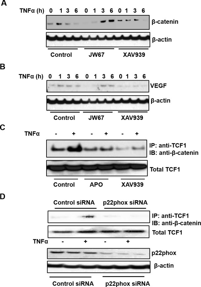 TNF-α upregulates VEGF by mediating ROS-dependent transcriptional activation of β-catenin. Representative western blots of ( A ) β-catenin and ( B ) vascular endothelial growth factor (VEGF) in RPE cells pretreated with JW67 (20 µM) or XAV939 (1 µM) or control dimethyl sulfoxide (DMSO) for 30 min before incubation with tumor necrosis factor alpha (TNF-α; 20 ng/ml) for an additional 1, 3, or 6 h. C : Coimmunoprecipitation of β-catenin and T cell factor 1 (TCF1) in RPE cells pretreated with apocynin (APO, 100 µM) or XAV939 or control DMSO for 30 min (representative blot). D : Coimmunoprecipitation of β-catenin and TCF1 in RPE cells transfected with p22phox siRNA and incubated with TNFα (20 ng/ml) for 2 h (representative blot).