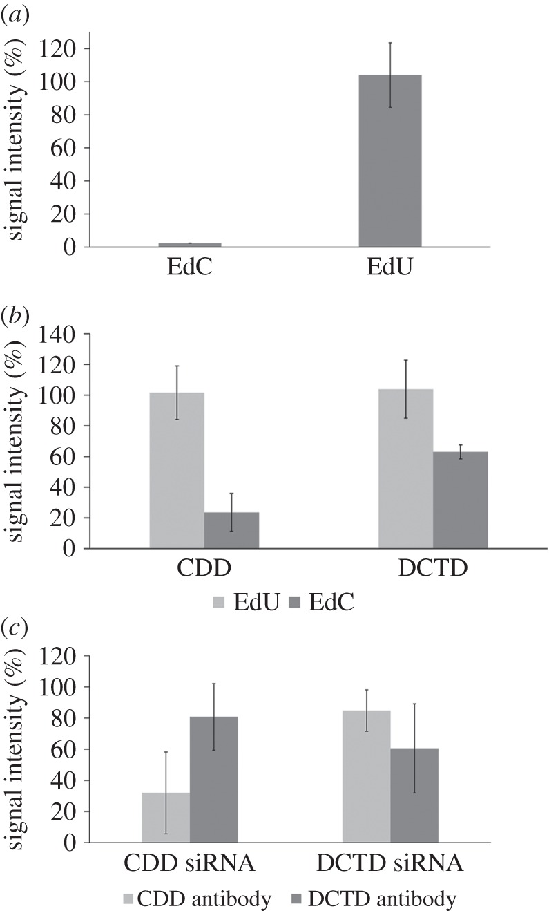The impact of THU and specific siRNAs on the incorporation of EdU into DNA. ( a ) The EdU-derived signal intensity in HeLa cells incubated for 2 h with EdC or EdU in the presence of THU. For the detection of EdU, a click reaction was used. The data are normalized to percentage of the signal of control cells incubated with EdC or EdU without THU (equal to 100%, not shown). The data are presented as mean ± s.e.m. ( b ) The impact of siRNA against CDD and DCTD on the incorporation of EdU into the DNA in cells incubated for 2 h with EdU or EdC. For the detection of EdU, a click reaction was used. The data were normalized to percentage of the signal of cells incubated with control siRNA (equal to 100%, not shown). The data are presented as mean ± s.e.m. ( c ) The amount of CDD and DCTD measured by immunoblots in cells treated with siRNA against CDD and DCTD. The data were normalized to percentage of the signal of cells incubated with control siRNA (equal to 100%, not shown). The data are presented as mean ± s.e.m.