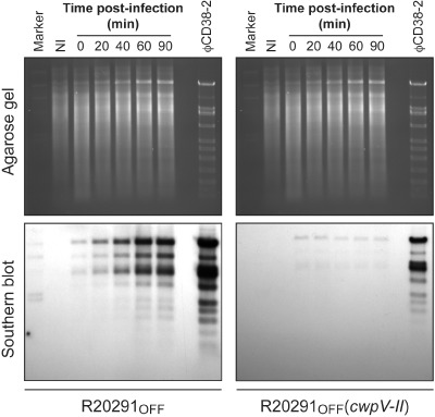 Phage DNA replication assay. The R 20291 OFF and R 20291 OFF strain carrying the p OS 200 plasmid enabling overexpression of the type II CwpV were each infected with ϕ CD 38‐2 at a MOI of 1. Samples of the infected cultures were collected at different time points post‐infection, and whole bacterial genomic DNA was extracted. DNA was digested with HindIII and analysed by agarose gel and ethidium bromide staining (upper panel). Southern blot hybridization using a D ig‐labeled whole phage DNA probe was then performed to detect phage DNA replication (lower panel). A non‐infected ( NI ) control was run in parallel, along with a positive control consisting in the purified ϕ CD 38‐2 DNA .