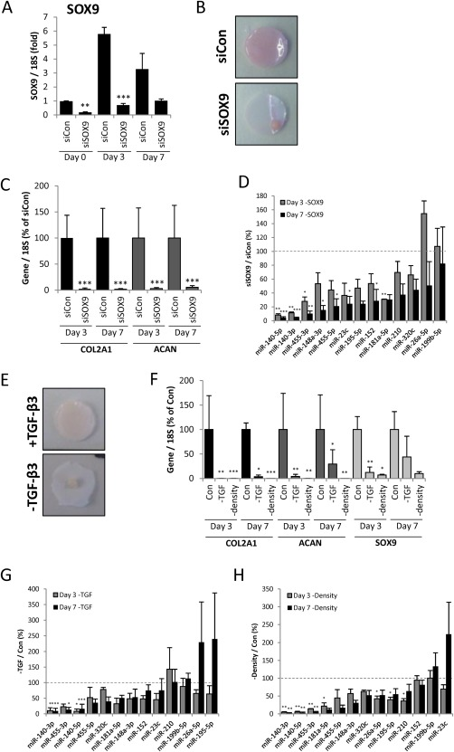 Requirement for SOX9, TGF‐β, and high density in chondrogenic miRNA expression. (A–D): Mesenchymal stem cells (MSCs) were transfected for 3 days with SOX9‐targeting or nontargeting control siRNA prior to chondrogenic differentiation for 7 days in hanging transwell inserts. RNA was extracted at Days 0, 3, and 7, and the indicated gene expression assessed by real‐time RT‐PCR. (A): SOX9 expression normalized to 18S. (B): Day 3 chondrogenesis disc overlaid on transwell membrane. (C): Days 3 and 7 chondrogenesis gene expression normalized to 18S. (D): Days 3 and 7 chondrogenesis miRNA expression following SOX9 depletion. Expression is normalized to U6 and presented as a percentage of nontargeting control levels. (E–H): MSCs were cultured in chondrogenic differentiation medium with or without TGF‐β3 for 7 days in hanging transwell inserts to form a cartilaginous disc or in monolayer at low cell density. (E): Day 3 chondrogenesis disc overlaid on transwell membrane. (F): Days 3 and 7 chondrogenesis gene expression normalized to 18S. (G, H): Days 3 and 7 chondrogenesis miRNA expression following (G) TGF‐β3 removal or (H) monolayer culture. Expression is normalized to U6 and presented as a percentage of control levels. Values are the mean ± SEM of data pooled from three separate MSC donors. *, p