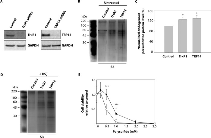 TrxR1 and TRP14 counteract intracellular protein persulfide accumulation. S3 refers to sampling according to Fig. 1 . ( A ) Western blot showing the knockdown of TRP14 and TrxR1 in stably transfected <t>HEK293</t> cells, compared to control cells. GAPDH is applied as a loading control. ( B ) Representative silver-stained gel (of n = 4 experiments) shows that more protein persulfides are detected in TrxR1 and TRP14 knockdown HEK293 cells than in the control (control cells have been transfected with a plasmid that transcribes a scramble shRNA) under normal growth conditions. ( C ) Increases in protein persulfide levels in TrxR1 and TRP14 knockdown HEK293 cells compared to control reached statistical significance (* P