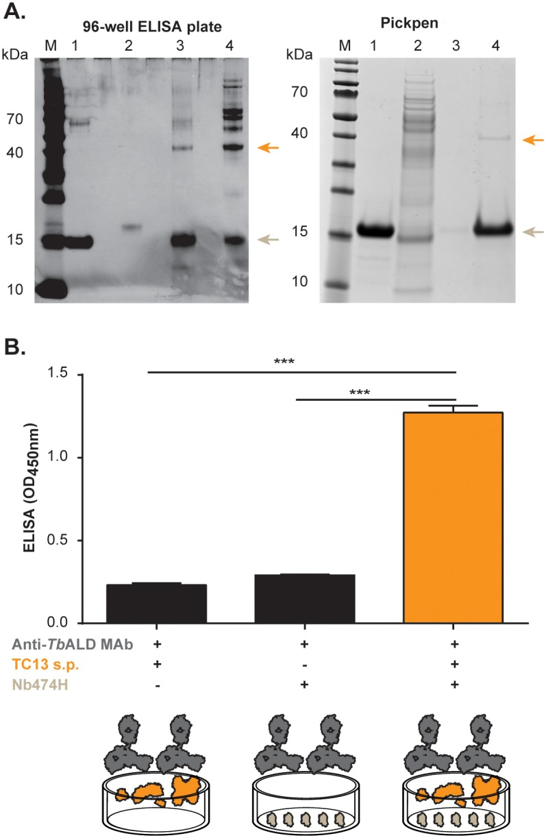 Detection of Nb474H immuno-affinity captured glycosomal aldolase. (A) Nb474H immuno-affinity captured glycosomal aldolase ( Tco ALD) detected by SDS-PAGE under reducing conditions. Panel ( top left ): Native Tco ALD was captured from the soluble proteome (s.p.) or infected sera on a 96-well ELISA coated with Nb474H, eluted from the plate and analysed on a 10% SDS-PAGE developed with silver staining. Lane M, protein ladder; lane 1, pure Nb474H; lane 2, pure Nb474B; lane 3, eluted protein captured from s.p. (6 μg); lane 4, eluted protein captured from infected sera (8 μg). Panel ( top right ): Native Tco ALD was captured from secretome on nickel beads linked to Nb474H, eluted and analysed on a 10% SDS-PAGE developed with coomassie blue. Lane M, protein ladder; lane 1, Nb474H; lane 2, flow through; lane 3, wash; lane 4, eluted protein. Native Tco ALD protein migrated at ±40 kDa (arrows, top) and the Nb474 migrated at ±15kDa (arrows, bottom). (B) Nb474H immuno-affinity captured Tco ALD from T . congolense TC13 s.p. detected by Anti- T . brucei aldolase MAb (Anti- Tb ALD MAb) in ELISA. Bar ( left ): OD450nm levels in wells filled with coating buffer followed by addition of T . congolense TC13 s.p. and then Anti-TbALD MAb; bar ( middle ): OD450nm in wells coated with the Nb followed by addition of Anti- Tb ALD MAb; and bar ( right ): OD450nm in wells coated with the Nb followed by addition of T . congolense TC13 s.p. and then Anti- Tb ALD MAb. In the last step goat anti-mouse IgG conjugated to Horse radish peroxidase (HRP) was added to all the wells and then developed with 1-Step ultra 3,3′,5,5′-tetramethylbenzidine (TMB) substrate. The OD450nm shown on the graph represent the average value of duplicate wells. *** p