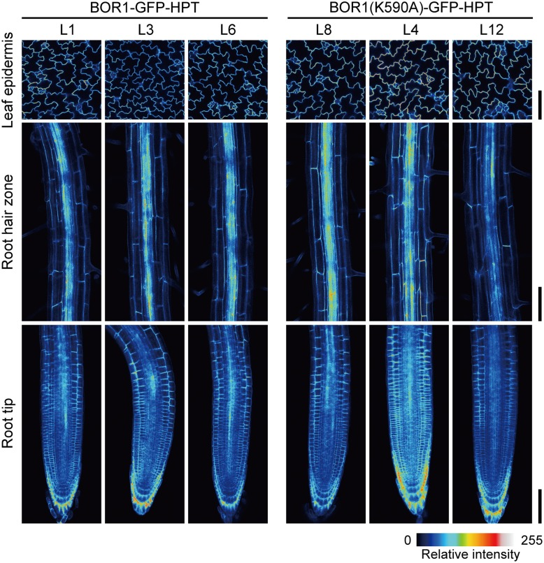 Comparison of expression levels and patterns of BOR1-GFP-HPT and BOR1(K590A)-GFP-HPT . Transgenic plants expressing BOR1-GFP-HPT and BOR1(K590A)-GFP-HPT were grown on solid medium containing 0.3 μM boric acid for 5 days. The images were obtained by a laser scanning confocal microscopy at the same settings for the same tissues of independent lines. The intensities of GFP fluorescence in epidermal cells of leaves (Upper panels) , the root hair zone (Middle panels) , and the root tips (Lower panels) are shown as color-coded heat maps. Scale bars represent 100 μm.