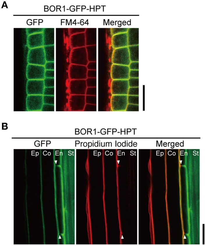 Polar localization of BOR1-GFP-HPT . Transgenic plants expressing BOR1-GFP-HPT were grown on solid medium containing 0.3 μM boric acid for 3 days. (A) BOR1-GFP-HPT in epidermal cells of the meristem zone. GFP (left), FM4-64 (middle), and a merged image (right) are shown. In the merged images, the GFP (green) and FM4-64 (red) overlapping fluorescence signals appear in yellow. (B) BOR1-GFP-HPT in endodermal cells of the differential zone. GFP (left), propidium iodide (middle), and a merged image (right) are shown. Ep, epidermis; Co, cortex; En, endodermis; St, stele. Scale bars represent 25 μm.