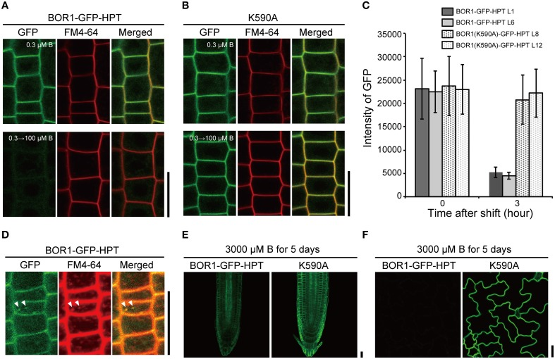 B-dependent vacuolar sorting of BOR1-GFP-HPT and BOR1(K590A)-GFP-HPT. (A–C) Transgenic plants expressing BOR1-GFP-HPT and BOR1(K590A)-GFP-HPT were grown on solid medium containing 0.3 μM boric acid for 4 days and then transferred to solid medium containing 100 μM boric acid. BOR1-GFP-HPT (A) and BOR1(K590A)-GFP-HPT (B) in the root tips grown in 0.3 μM boric acid for 4 days (upper panels), and then shifting to 100 μM boric acid for 3 h (down panels). (C) Quantification of fluorescence intensities of BOR1-GFP-HPT and BOR1(K590A)-GFP-HPT in the plasma membrane after shifting to 100 μM boric acid for 3 h. Means ± SD are shown ( n = 111–149 cells from three roots). (D) Co-localization of BOR1-GFP-HPT and FM4-64 after shifting to 100 μM boric acid for 1.5 h. (E,F) Transgenic plants expressing BOR1-GFP-HPT and BOR1(K590A)-GFP-HPT were grown on solid medium containing 3000 μM boric acid for 5 days. Root tip (E) and leaf epidermal cells (F) with BOR1-GFP-HPT and BOR1(K590A)-GFP-HPT. Scale bars represent 25 μm.