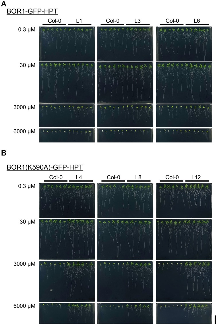 Growth of transgenic plants expressing BOR1-GFP-HPT (A) and BOR1(K590A)-GFP-HPT (B) under a range of boric acid concentrations . Wild-type (Col-0) and transgenic lines were grown on solid media containing 0.3, 30, 3000, and 6000 μM boric acid for 9 days. Scale bars represent 20 mm.