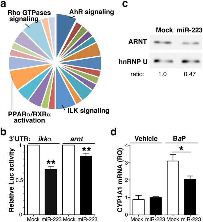 miR-223 target ARNT expression and signalling. ( a ) Ingenuity analysis of putative miR-223 targets as determined in silico . Signalling pathways with the highest scores are indicated. ( b ) Luciferase reporter assays of HEK-293 cells transduced with pre-miR-223 or a control (mock), and transfected with the wild-type ikk α- or the arnt 3′UTR reporter constructs. Luciferase activity was normalised to that of mock-transfected cells. Data shown as mean ± SEM of triplicates in one representative experiment ( n = 3). ( c ) Immunoblot analysis of extracts of HEK-293 cells expressing control or pre-miR-223, probed with anti-ARNT and -hnRNP U (nuclear loading control); the hnRNP U/ARNT ratio in mock-transfected cells is equal to 1. For ( b , c ), data are representative of at least three experiments. ( d ) CYP1A1 mRNA levels in mock and pre-miR-223-expressing <t>THP-1</t> cells treated with B a P or vehicle. Data shown as mean ± SEM of RQ from triplicates in three independent experiments. *p