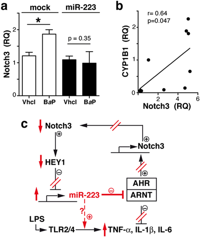 miR-223 prevents AHR/ARNT-induced Notch3 upregulation. ( a) Notch3 mRNA levels in THP-1 cells expressing control (mock) or pre-miR-223 stimulated with B a P or vehicle. Data shown as mean ± SEM of RQ values (triplicates) from three independent experiments. ( b ) Linear regression analysis of CYP1B1 and Notch3 RQ values in RA and OA samples ( n = 10). ( c ) Proposed model of miR-223 regulation in macrophages; miR-223 activity in RA macrophages indicated in red. *p