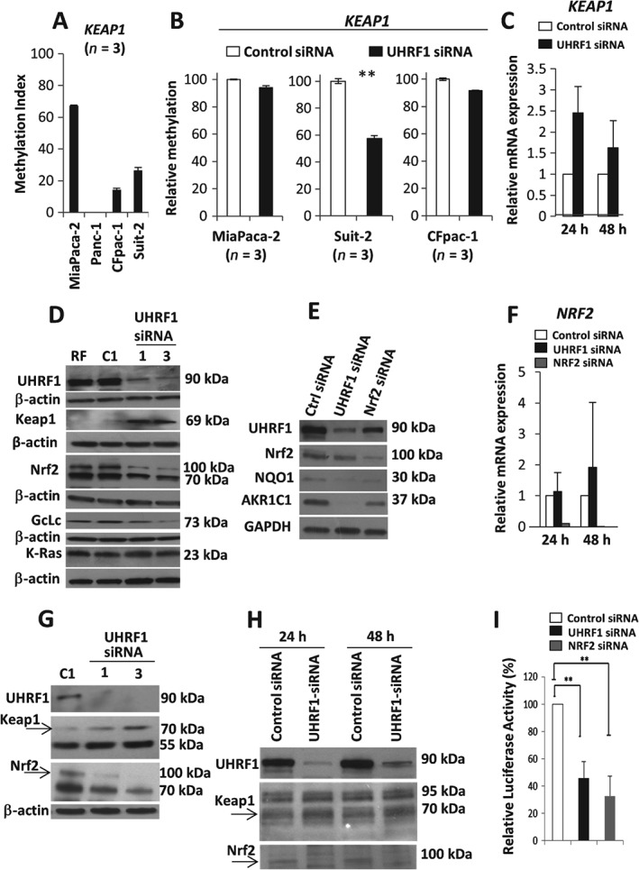 UHRF1 regulates the Nrf2–Keap1 pathway by maintaining KEAP1 promoter methylation. (A) Basal methylation index detected by triplicate pyrosequencing of KEAP1 . (B) Mean of triplicate DNA methylation measurements of KEAP1 promoter in MiaPaca‐2, Suit2 and CFpac‐1 cells following control‐ or UHRF1‐targeting siRNAs. (C) RT–PCR for KEAP1 transcripts relative to GAPDH in control and UHRF1‐depleted Suit‐2 cells. (D, E) Western blot (Suit‐2) of the indicated proteins following UHRF1 or Nrf2 depletion. (F) RT–PCR for NRF2 transcripts relative to GAPDH in control and UHRF1‐ or Nrf2‐depleted Suit‐2 cells. (G, H) Gain in Keap1, down‐regulation of Nrf2 in MiaPaca‐2 and primary PDAC cells from a KPC mouse, respectively. (I) Relative luciferase activity from an 8× ARE‐reporter following UHRF1 or Nrf2 depletion (Suit‐2);** p