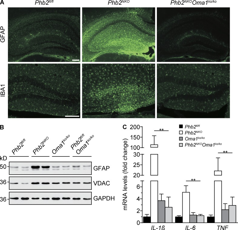Oma1 deletion in Phb2 NKO mice prevents neuroinflammation. (A) Reactive astrogliosis and activation of microglia in Phb2 NKO mice is blocked by deletion of Oma1 . Immunohistochemical staining of coronal sections across the hippocampal region from 14-wk-old mice using GFAP- and IBA1-specific antibodies. Bars, 200 µm. (B) Immunoblot analysis of hippocampal lysates from 14-wk-old mice. GAPDH was used as a loading control. (C) mRNA levels of proinflammatory cytokines in Phb2 NKO mice are restored upon deletion of Oma1 . Total RNA was isolated from the hippocampus of 14-wk-old mice and subjected to quantitative real-time PCR analysis ( n = 3). Transcript levels were normalized to Gapdh mRNA levels. **, P