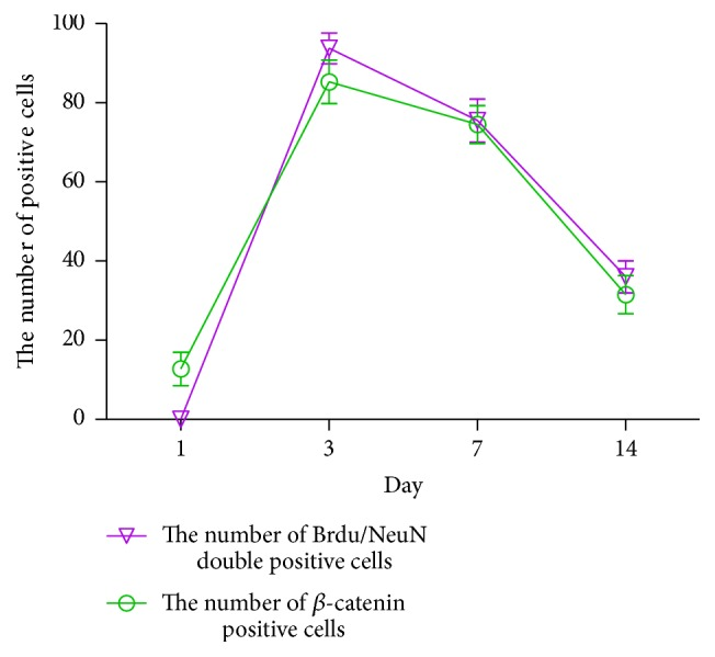 IA treatment group's corresponding trend of Brdu/NeuN double positive cell and β -catenin positive cell at corresponding time point after ischemia reperfusion in rats.