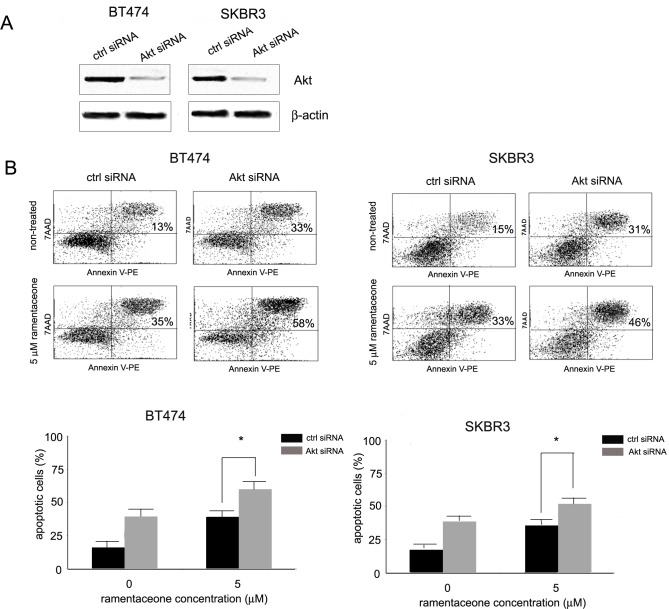 The role of Akt inhibition in ramentaceone-mediated apoptosis induction. (A) Silencing of Akt by siRNA in BT474 and SKBR3 cells. Cells were transiently transfected with Akt siRNA and 24 after transfection, Akt silencing was confirmed with Western blot analysis. (B) Induction of apoptosis by ramentaceone in cells transfected with Akt siRNA and control siRNA. 24 h after transfection cells were treated with ramentaceone (5 μM) for 24 h, stained with Annexin V-PE/7-AAD, and analyzed by flow cytometry. Representative of three independent experiments. p