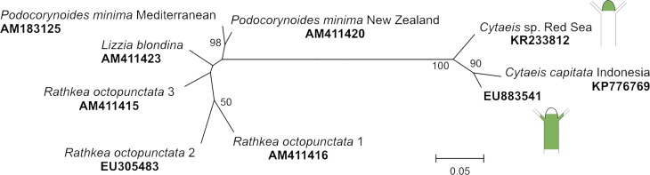 Maximum likelihood tree of <t>16S</t> mitochondrial <t>rRNA</t> gene sequences from Cytaeis , Podocorynoides , and their closest relatives (BLAST similarity > 90%). P . minima from Mediterranean and New Zealand clusters within other representatives of the family Rathkeidae ( Rathkea and Lizzia ). The Red Sea Cytaeis sp clusters with the sequence of Cytaeis sp. (EU883541) from Japan and Cytaeis capitata from Indonesia. Schematic images of the polyps of Cytaeis sp. from Japan and the Red Sea indicate location of the fluorescence.