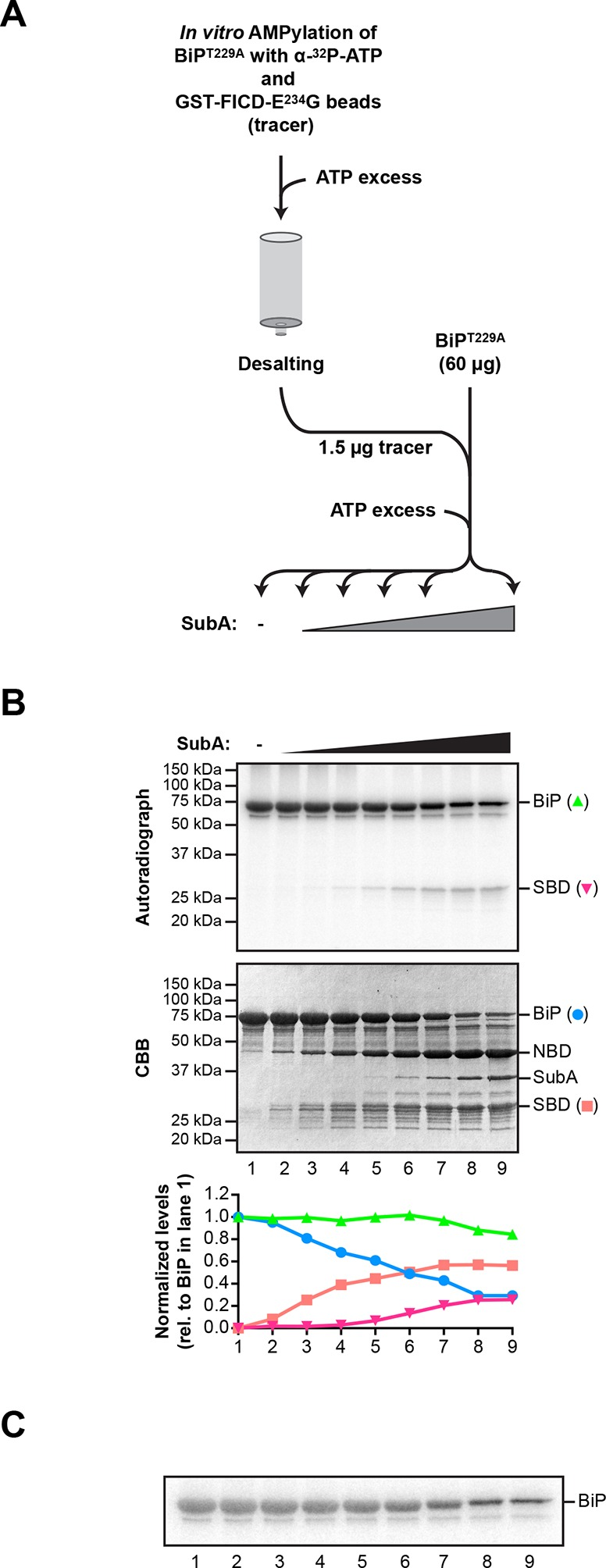 """Comparison of the differential susceptibility of unmodified and AMPylated BiP to cleavage by SubA in vitro. (A) Schema of the experimental design. ATP hydrolysis-deficient BiP T229A protein was AMPylated in presence of radioactive α- 32 P-ATP with catalytically active GST-FICD E234G coupled to GSH-Sepharose beads. The enzyme-containing beads were removed by centrifugation and excess of non-radioactive ATP was added to the supernatant to competitively displace non-covalently bound α- 32 P-ATP from BiP T229A . Unbound nucleotides were then removed by passing the sample through a desalting column. Trace amounts (1.5 µg) of the recovered 32 P-labeled AMPylated BiP T229A protein were added to excess of unmodified BiP T229A protein (60 µg; a mass ratio of 40:1) and the combined sample was supplemented with ATP and treated for 30 min with increasing concentrations of the SubA protease (0.08 to 120 ng/µl) before denaturing SDS-PAGE, Coomassie staining and autoradiography. ( B ) Autoradiograph and Coomassie stain (CBB) of an SDS-PAGE gel of BiP from samples described above. In the bottom panel, the Coomassie stain and radioactive signals of the full-length BiP and the substrate binding domain (SBD) were quantified and normalized to the values in lane 1, which were set arbitrarily to 1 for full-length BiP and to 0 for the SBD (graph). The Coomassie stain signal reports of the fate of unmodified BiP T229A , whereas the radioactive signals report exclusively on the modified BiP T229A in the combined sample. NBD denotes the nucleotide binding domain. ( C ) A shorter exposure (1 hr versus 8 hr) of the autoradiograph shown in """"B"""", above. It reveals the substantial conservation of the radioactive signal emanating from intact BiP across the time course (the green plot in """"B"""" above), which is obscured by changes in the band width introduced by the progressive digestion of the unlabeled (and unmodified) intact BiP in the sample. DOI: http://dx.doi.org/10.7554/eLife.12621.007"""