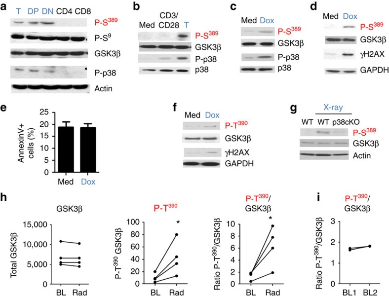 Inactivation of GSK3β by p38 MAPK is specifically induced by DSBs. ( a ) Western blot analysis of P-S 389 GSK3β, P-S 9 GSK3β, GSK3β, P-p38 MAPK and p38 MAPK in total thymocytes (T), double positive thymocytes (DP), double negative thymocytes (DN), mature CD4 T cells and mature CD8 T cells. Actin is shown as a loading control. ( b ) Mouse CD4 splenocytes were treated with media alone (Med) or stimulated with anti-CD3 and anti-CD28 Abs for 18 h and the levels of P-S 389 GSK3β, GSK3β, P-p38 MAPK and p38 MAPK were determined by western blotting. Thymocytes are included as a positive control. ( c ) Mouse CD4 splenocytes were treated with media alone (Med) or doxorubicin (Dox) for 18 h and the levels of P-S 389 GSK3β, total GSK3β, P-p38 MAPK and total p38 MAPK were determined by western blotting. ( d ) Mouse CD4 splenocytes were treated with media alone (Med) or doxorubicin (Dox) for 18 h. Levels of P-S 389 GSK3β, total GSK3β and γH2AX were determined by western blotting. GAPDH is shown as a loading control. ( e ) Mouse CD4 splenocytes were treated with doxorubicin for 18 h and cell death was measured by AnnexinV staining and flow cytometry ( n =3, ±s.e.m.). ( f ) Human CD4 cells were treated with media alone (Med) or doxorubicin (Dox) for 18 h. P-T 390 GSK3β, total GSK3β and γH2AX were examined by western blotting. ( g ) WT and T-cell-specific p38α conditional knockout (cKO) mice were left unexposed or exposed to 4 Gy of X-rays. After 1.5 h, CD4 splenocytes were isolated and P-S 389 GSK3β and total GSK3β assessed by western blotting. Actin is shown as a loading control. ( h ) Relative levels of total GSK3β, P-T 390 GSK3β and the relative ratio of P-T 390 GSK3β to total GSK3β at baseline (BL) and after radiotherapy (Rad) in CD4 cells from breast cancer patients, determined by the Odyssey system ( n =4). ( i ) Relative ratio of P-T 390 GSK3β to total GSK3β in CD4 cells from healthy donors isolated in two different days (baseline 1 and 2) for each subject ( n =3). * P value