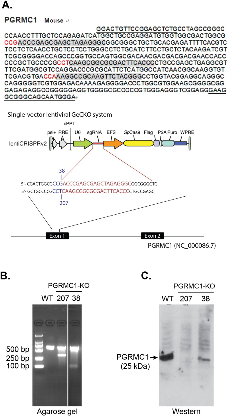 PGRMC1 knockout using a <t>CRISPR/Cas9</t> approach. A. Schematic of the PGRMC1 <t>sgRNA/Cas9-expressing</t> lentiviral constructs for knocking out PGRMC1. Gray areas show the three candidate sgRNA sequences in the exon-1 of the PGRMC1 gene, of which two were used for the CRISPR/Cas9 constructs. B. A representative DNA gel of control and PGRMC1 knockout (clones 38 and 207) NSC34 cells verifying the Cas9 cleavage of the genomic DNA. Control refers to the NSC34 cells transfected with the control vector expressing Cas9 but not an sgRNA. C. Western blotting detection of PGRMC1 in control and PGRMC1 knockout (clones 38 and 207) NSC34 cells.