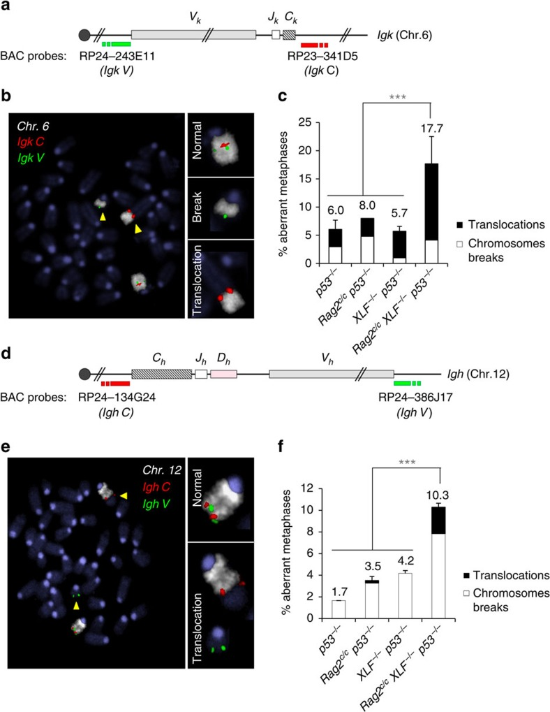 Aberrant V(D)J recombination leads to genomic instability in Rag2 c/c XLF −/− p53 −/− B cells. ( a – c ) Genomic instability at the Igk locus in v-abl pro-B cell lines. ( a ) Schematic representation of the Igk locus, with positions of the BACs used for generation of DNA FISH probes indicated. ( b ) Representative metaphase from Rag2 c/c XLF −/− p53 −/ − v-abl pro-B cell lines using the Igk C BAC probe (red) combined with Igk V BAC probe (green) and chromosome 6 paint (white). Yellow arrowheads point to broken or translocated chromosome 6. ( c ) Percentage of aberrant metaphases from v-abl pro-B cell lines of the indicated genotype harbouring chromosomes breaks (white) or translocations (black) involving the Igk locus. Histograms represent means+s.e.m. of two to three independent cell lines (see also Supplementary Table 3 ). *** P