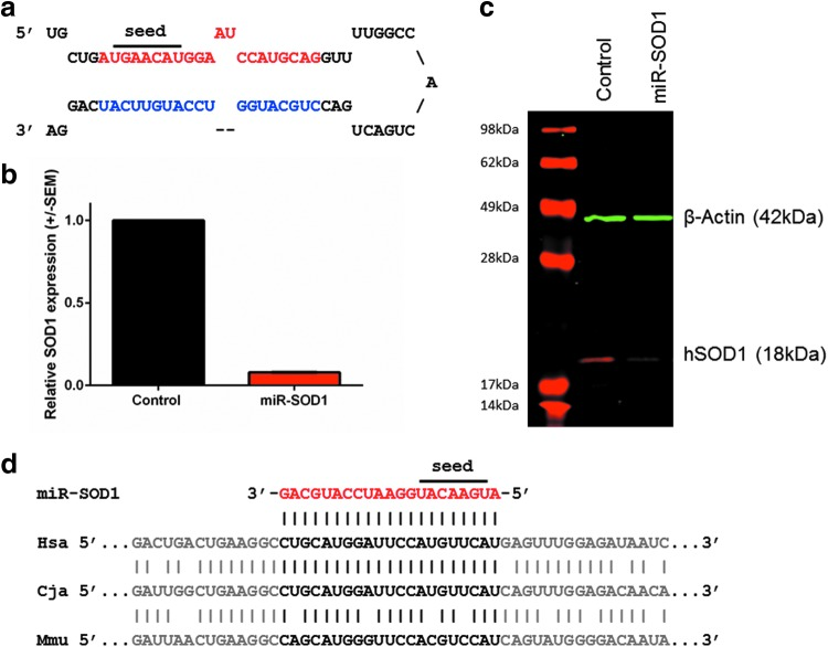 Design and in vitro validation of miR-SOD1, an artificial miRNA targeting human SOD1 . (a) miR-SOD1 was designed to have perfect complementary to human SOD1 , and is based on the backbone of cellular miR-155. (b) HEK293 cells were transfected with 2 μg plasmid DNA. Cells were harvested at 48 hr posttransfection and RNA was isolated. SOD1 and HPRT transcripts were quantified by RT-qPCR. Relative SOD1 expression was calculated according to the ΔΔCt method, and three biological replicates were analyzed. Data are presented as average of the replicates ± SEM. (c) HEK293 cells were transfected with 4 μg plasmid DNA and cells were harvested and lysed at 72 hr posttransfection. Equal amounts of protein were run on an SDS-PAGE and incubated with anti-SOD1 (red) and anti-beta-actin (green) antibodies. (d) Alignment showing perfect complementarity between the human (Hsa) and the marmoset (Cja) mRNA sequences at the mature miR-SOD1 site, but only partial complementarity with the endogenous mouse mRNA sequence (Mmu) in particular including two mismatches within the seed sequence at position 4 and 7. miRNA, microRNA; SOD1 , superoxide dismutase 1.