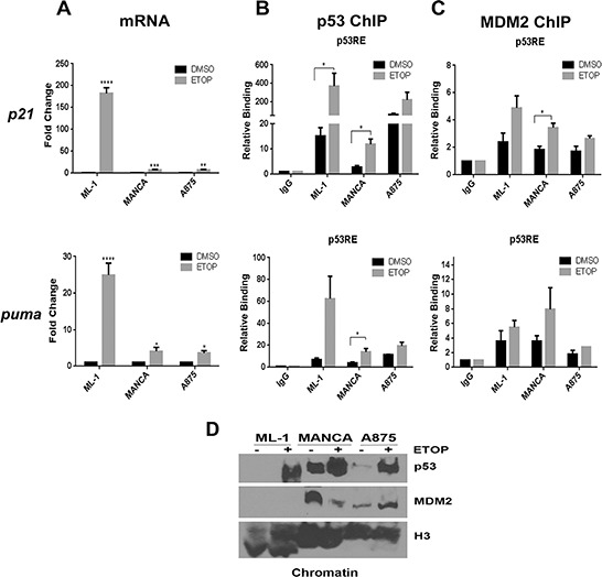 Cancer cells with G/G mdm2 SNP309 have compromised transcriptional activation of p53 target genes after DNA damage ML-1, MANCA and A875 cells were treated with 8 μM etoposide (ETOP) for 6 hours. A. p21 and puma transcript was measured using quantitative RT-PCR. Samples were first normalized to DMSO for target gene expression and then to total gapdh mRNA. Results represent an average of three to five independent experiments given with standard error bars. Student t test analysis of cells treated DMSO vs ETOP for ML-1[ p21 and puma p