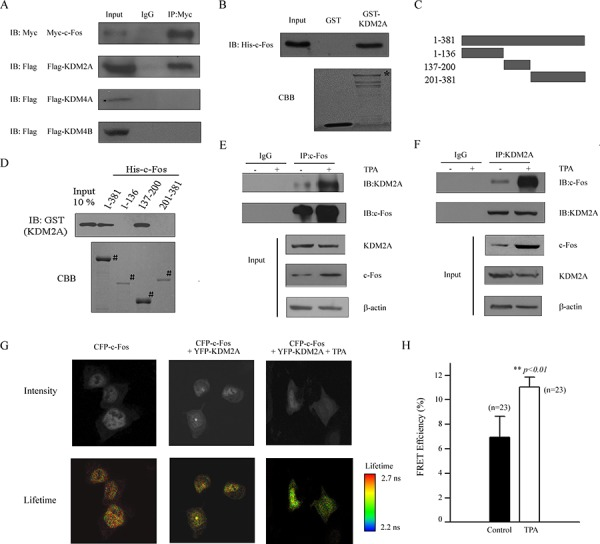 c-Fos interacts with KDM2A in vitro and in vivo A. A Myc-tagged c-Fos and a Flag-tagged histone modification enzyme (as indicated in the figure) were co-transfected into HEK293T cells and the proteins were then extracted for Co-IP with anti-Myc and anti-Flag antibodies, followed by immunoblotting with anti-Myc. B. GST-KDM2A was incubated with His-c-Fos, and Western blotting or Coomassie staining was performed to detect the direct binding of c-Fos and KDM2A in vitro . * indicates the specific bands. C. Schematic of plasmids encoding full-length c-Fos, an N-terminal fragment (aa 1–136), a middle fragment (aa 137–200) and a C-terminal fragment (aa 201–381). D. His-c-Fos FL or fragments were incubated with GST-KDM2A, and Western blotting with an anti-GST antibody or Coomassie staining was performed to detect the interaction. # indicates the specific bands. E. H719 cells were treated without or with TPA for 2 hrs at 100 ng/mL, then the cell were extracted for Co-IP using an anti-c-Fos antibody, followed by Western blotting using anti-KDM2A or anti-c-Fos antibodies to detect the interaction between c-Fos and KDM2A. F. H719 cells were treated without or with TPA for 2 hrs at 100 ng/mL, then the cells were extracted for Co-IP using anti-KDM2A antibody, followed by Western blotting using an anti-KDM2A or anti-c-Fos antibodies to detect the interaction between c-Fos and KDM2A. G. HEK293T cells were transfected with pECFP-c-Fos and/or pEYFP-KDM2A plasmids, followed by TPA treatment for 2 hrs. FLIM assays were performed, and the images of representative cells are shown for each group. H. FRET efficiency is shown in the column diagram, and the representative value is an average FRET efficiency of 23 cells with standard error. **, p