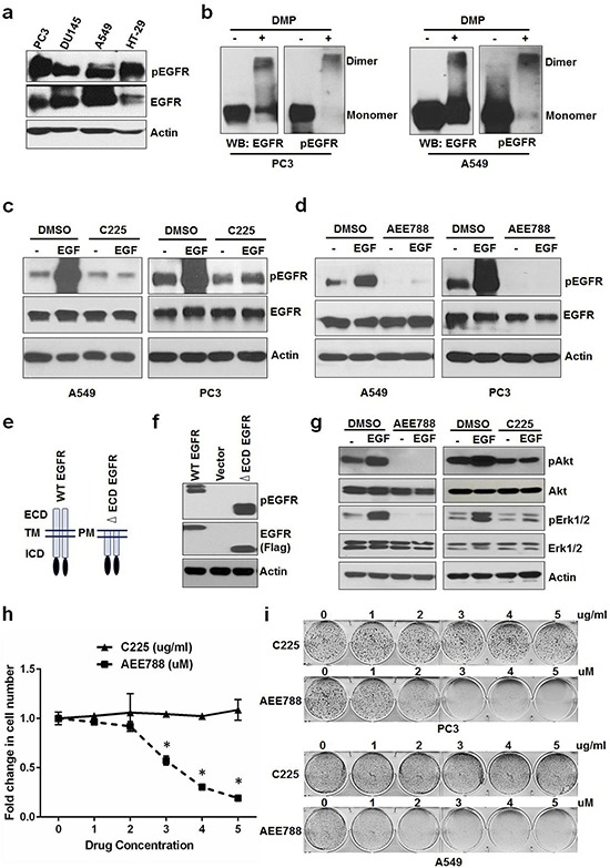 Constitutive activation of EGFR sustains cell proliferation in the absence of ligands a. Serum starved PC3, DU145, A549 and HT-29 cells were tested for EGFR phosphorylation. b. PC3 and A549 cells grown in the absence of serum/ligands were tested for EGFR dimerization (crosslinked by DMP) and phosphorylation. Serum starved A549 and PC3 were treated with EGF +/− C225 at 2.5 ug/ml c. or AEE788 at 2.5 uM d. for 15 minutes and measured for EGFR phosphorylation, EGFR and Actin using Western blot. e. Schematic diagram of WT and extra cellular domain deleted EGFR (ΔECD-EGFR). f. Western blot analysis of protein samples for pEGFR and EGFR (Flag) isolated from HEK 293 cells transfected with vector alone, WT EGFR or ΔECD EGFR for 24 hours. g. Western blot analysis of protein samples for pAkt, Akt, pErk1/2, Erk1/2 and EGFR isolated from PC3 cells treated with EGF +/− AEE788 or EGF +/− C225 for 15 minutes similarly as cells used in c and d. h. A549 cells were treated with AEE788 or C225 for 5 days at the indicated concentrations and measured cell number. i. Colony formation assay on PC3 and A549 cells were treated with increasing concentrations of AEE788 or C225 as indicated in 6-well plate and colony formation was counted when the cells reached 80–90% confluence. Data are means of +/− SD of triplicates ( Suppl Figure 1a and 1b ). Asterisk indicates the statistical significance between treated group and DMSO ( P -value ≤ 0.0001).