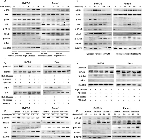 HG activates MAPK pathways and the NF-κB and AP-1 transcription factors via the production of H 2 O 2 in BxPC-3 and Panc-1 cells A. The effect of 25 mM glucose on the phosphorylation of ERK, p38 MAPK, NF-κB and c-Jun. PC cells were treated with 25 mM glucose for the indicated times. Phosphorylation of ERK, p38 MAPK, NF-κB and c-Jun were determined using Western blot analysis. B. The effect of H 2 O 2 (200 μM) on the phosphorylation of ERK, p38 MAPK, NF-κB and c-Jun. PC cells were treated with 200 μM H 2 O 2 for the indicated times. Phosphorylation of ERK, p38 MAPK, NF-κB and c-Jun were determined using Western blot analysis. C. The effect of MAPK pathway inhibitors on the phosphorylation of ERK and p38. D. The effect of MAPK pathway inhibitors on the phosphorylation of NF-κB and c-Jun. BxPC-3 and Panc-1 cells were treated with the selective MAPK pathway inhibitors PD 98059 (50 μM) and SB 203580 (20 μM), as well as PEG-CAT (1000 U/ml) in the presence or absence of high glucose concentrations. The phosphorylation of ERK, p38 (C), NF-κB and c-Jun (D) were analyzed using Western blot analysis for 24 h. E. The effect of SOD2 knockdown on the phosphorylation of ERK and p38 in the presence or absence of high glucose concentrations. F. The effect of SOD2 knockdown on the phosphorylation of NF-κB and c-Jun in the presence or absence of high glucose concentrations. After the BxPC-3 and Panc-1 cells were transfected with siRNAs for 48 h, the phosphorylation levels of ERK, p38 (E), NF-κB and c-Jun (F) were determined using Western blot analysis.