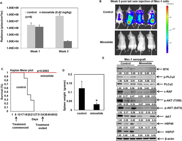 Minnelide treatment delays leukemogenesis and inhibits HSP90 function in an in vivo model of CLL A. Average radiance of the mice at the indicated times from an in vivo Mec-1luciferase expressing xenograft model of CLL in Rag2−/−IL2Rγ−/− mice ( n = 8 <t>per</t> group) B. Bioluminescent images of control and minnelide-treated mice acquired at the same exposure conditions at week 3 following injection of Mec-1 luciferase cells. C. Kaplan Meier survival plots for control and minnelide-treated mice following indicated days of treatment. D. Spleen weight of deceased control mice and minnelide-treated mice on day 50 (* p = 0.04). E. <t>Immunoblot</t> analysis of BTK-PLCγ2-AKT signaling pathway and the indicated HSPs from control (from spleen collected at the time of death) and minnelide-treated mice (euthanized on day 50).