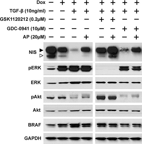 Apigenin counteracts TGF-β's effect on NIS reduction Western blots show NIS protein levels along with pERK, ERK, pAkt, Akt, and BRAF in PCCl3/Tet-On BRAF V600E cells. Cells were deprived of TSH for five days and then stimulated with TSH for 48 hours, followed by treatment with inhibitors at their optimal concentration, co-treated with or without 20 μM of Apigenin (AP), in the presence of 10 ng/ml TGF-β for 24 hours before protein extraction. 2 μg/ml doxycycline (dox) was added with TSH to induce oncogene expression. GAPDH served as a loading control. Arrowheads indicate hyperglycosylated (►) and hypoglycosylated (▻) NIS. Data are representative of two independent trials.