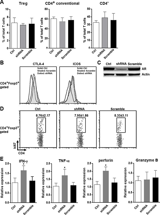 AR suppresses anti-tumor activity of CD8 + T cells in vivo A. Proportion of each T subset in the Hepa1–6 xenografts was determined by flow cytometry. B. Histograms of the expression of CTLA-4 and ICOS on intratumoral Tregs determined by flow cytometry. This is a representative of three independent experiments. C. AR expression in the xenografts was determined by Western blotting. This is a representative of two independent experiments. D. Intratumoral Tregs proliferation was determined by ki67 staining. Numbers in the plots were the percentages of ki67 + cells presented as mean ± SD. E. Expression of IFN-γ, TNF-α, perforin and granzyme B in intratumoral CD8 + T cells were analyzed using qRT-PCR. Ctrl, xenografts of non-transfected Hepa1–6 cells; shRNA, xenografts of LV-shRNA-transfected Hepa1–6 cells; Scramble, xenografts of LV-scramble-transfected Hepa1–6 cells. N = 7 per group. * p