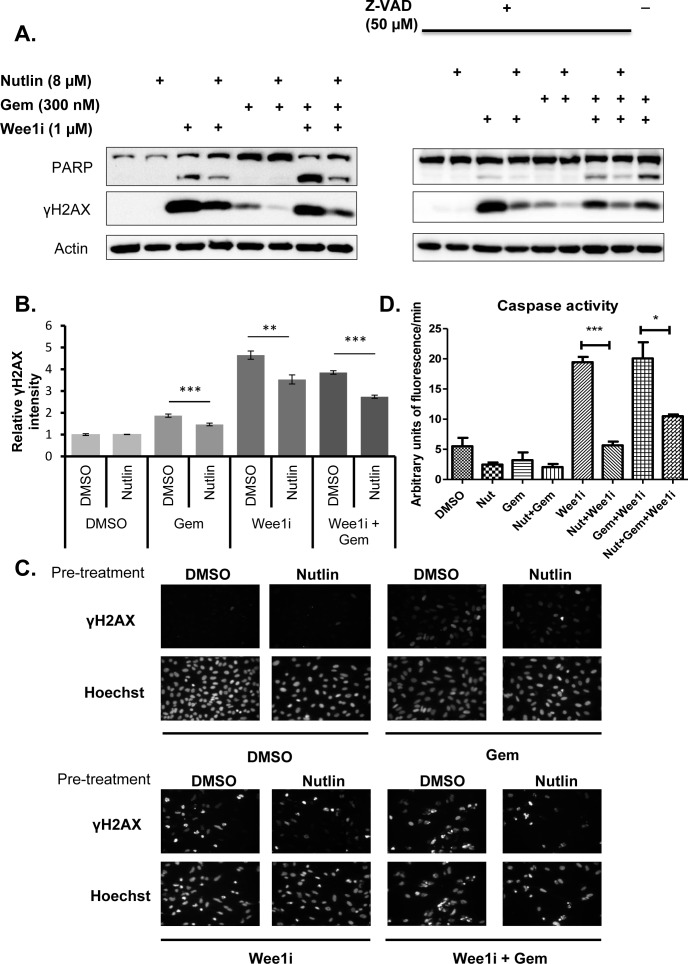 Nutlin prevents <t>caspase</t> activation and γH2AX accumulation in response to Wee1 inhibitor and/or gemcitabine A . U2OS cells were treated with 8μM Nutlin for 24 hrs, followed by treatment with 1μM Wee1 inhibitor, 300nM gemcitabine, and/or 8μM Nutlin in the absence and presence of 50μM ZVAD-FMK for another 24 hrs. Cells were harvested and immunoblot analysis was performed to detect poly-ADP ribose polymerase (PARP) and γH2AX. B ., C . U2OS cells were treated as in (A). The cells were then fixed and stained for γH2AX by immunofluorescence. Detection and analysis was performed using automated immunofluorescence microscopy (BD Pathway). Figure panel (B) shows images of γH2AX staining for each treatment condition. Quantitation of γH2AX intensities was done using the BD pathway analysis tool and depicted in figure panel (C). Error bars represent the SD, n=3. D . U2OS cells were treated with 8μM Nutlin for 24 hrs, followed by treatment with 1μM Wee1 inhibitor, 300nM gemcitabine, 8μM Nutlin in the absence and presence ( Supplementary Figure 1 ) of 50μM ZVAD-FMK for another 24 hrs. The cells were harvested and lysed for caspase activity assay. Fluorescent intensity measurements were obtained for each treatment. The activity (arbitrary units of fluorescence/min) was calculated for each treatment at the linear part of the curve (cf. Supplementary Figure 1 ). Error bars represent the S.D, n=3.