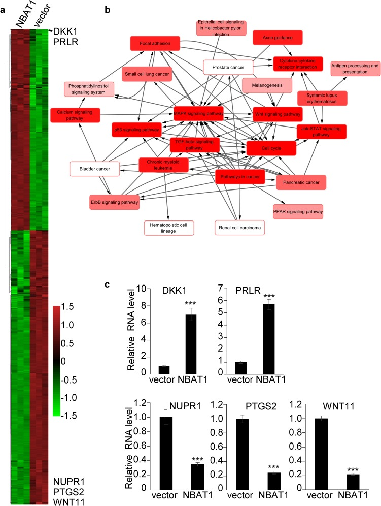 Over-expression of NBAT1 in MDA-MB-231 cells results in global gene expression profile change a . Heatmap representing hierarchical clustering of all dysregulated genes whose relative fold changes are more than 2 times compared MDA-MB-231/NBAT1 with MDA-MB-231/vector cells. b . Pathway-network analysis of the significant pathways of the differential expression genes. (Lines represent the relationship between the pathways, red to white represents the P value; the smaller the P value is, the deeper the red is.) c . The expression levels of DKK1, PRLR, NUPR1, PTGS2, WNT11 were determined in MDA-MB-231 with over-expression NBAT1 by qRT-PCR (mean±SD, n=3, *** p
