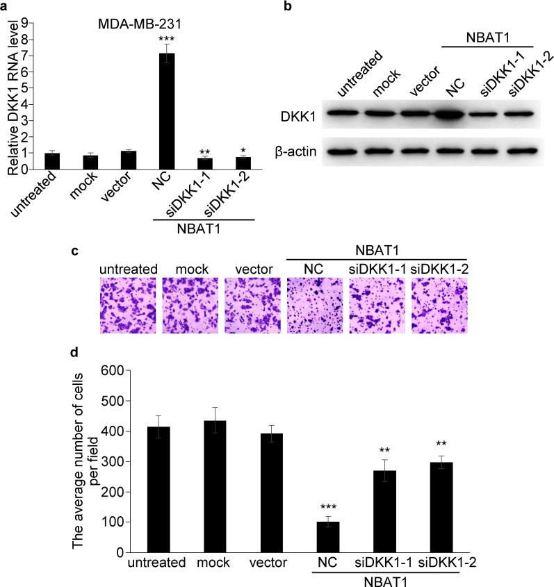 NBAT1 inhibits invasion of breast cancer cells by activating DKK1 expression a. , b . qRT-PCR and western blot analysis for DKK1 in NBAT1-expression MDA-MB-231 cells transfected with siRNA targeting DKK1 (NC, siDKK1-1 and siDKK1-2). c . Representative images of Boyden chamber assay for invaded cells (over-expression NBAT1 while inhibit DKK1). d . Histogram showing that the number of invaded cells with knockdown DKK1 was significantly higher than for NC, and similar to control groups (untreated, mock and vector, mean±SD, n=3, * P