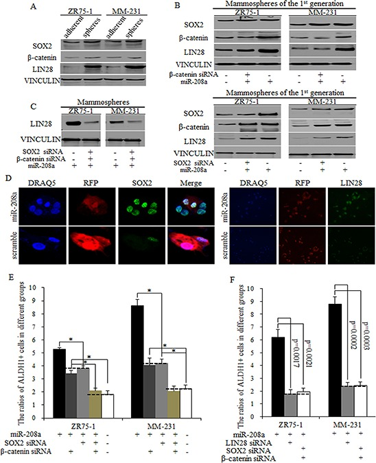 MiR-208a promotes LIN28 via regulations of SOX2 and β-catenin A. SOX2, β-catenin and LIN28 are upregulated in mammospheres from ZR75–1 and MM-231 cells, compared to adherent cells. B. miR-208a stimulates LIN28 expression via SOX2 and β-catenin partially, and the inhibition of SOX2 or β-catenin could only partially functions of miR-208a in induction of LIN28. C. siRNAs of SOX2 and β-catenin together effectively inhibited LIN28 expression in miR-208a overexpressed ZR75–1 and MM-231 cells. D. SOX2 and LIN28 increased in miR-208a overexpressed breast cancer stem cells. E. The inhibition of SOX2 or β-catenin decreased the ratio of ALDH1+ stem cells; this inhibition was significantly greater when both SOX2 and β-catenin siRNA was used, reducing the ratio of ALDH1+ cells to control levels. F. No significant differences of ratios of ALDH1+ cells were detected in groups of LIN28 inhibition and SOX2/β-catenin inhibition.