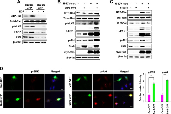 Effect of Sur8 on Rac and Akt activation A–C. The shCon-GFP and shSur8-GFP NIH3T3 cells were treated with EGF for 10 minutes (A), HEK293 cells were transfected with the indicated plasmids or siRNAs (siGFP or siSur8 #1 and #2) (B, C). For GTP-Rac measurement, WCLs were incubated with GST-PAK-CD and analyzed by immunoblotting with an anti-Rac1 antibody. For all other measurements, WCLs were immunoblotted against the indicated proteins. D. NIH3T3 cells were transfected with either Con-GFP or Sur8-GFP plasmids, and immunocytochemical analysis was performed using anti-p-ERK or -p-Akt antibody. Cell nuclei were counterstained with DAPI. Relative intensities of the markers stained were quantified for at least 15 different cells using NIS-Elements AR 3.1. Scale bars, 50 μm. The values are mean ± s.e.m. of three independent experiments.